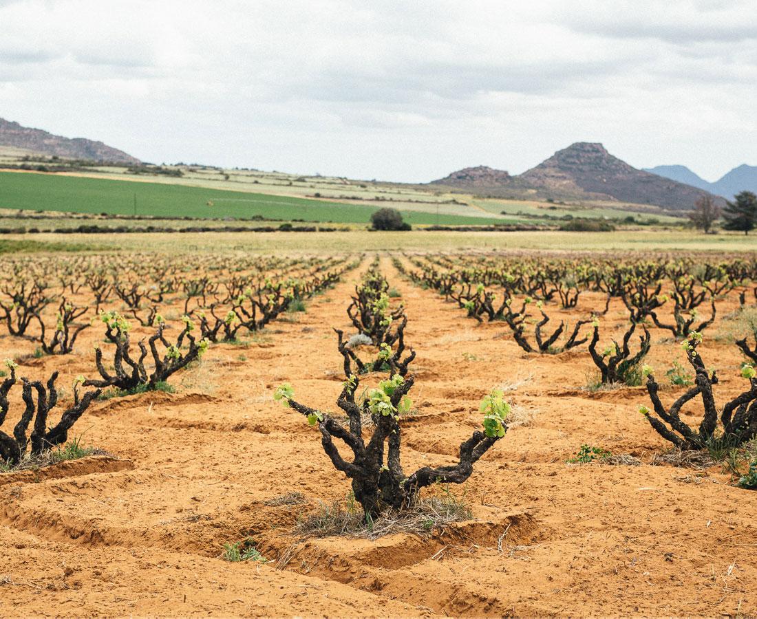GD-Alheit-Vineyards2